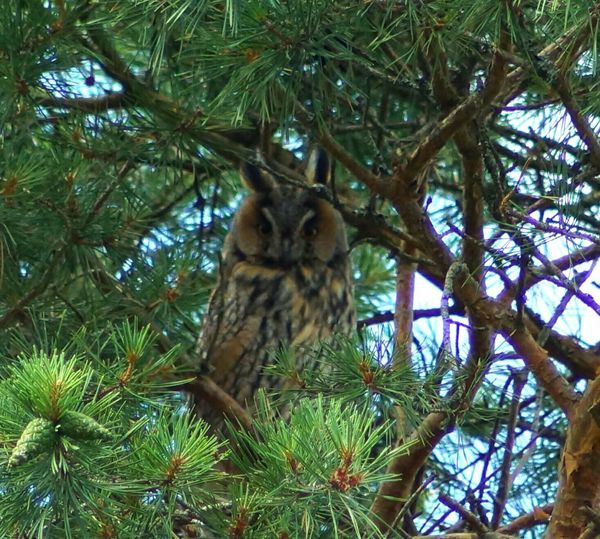 Horned Owl One