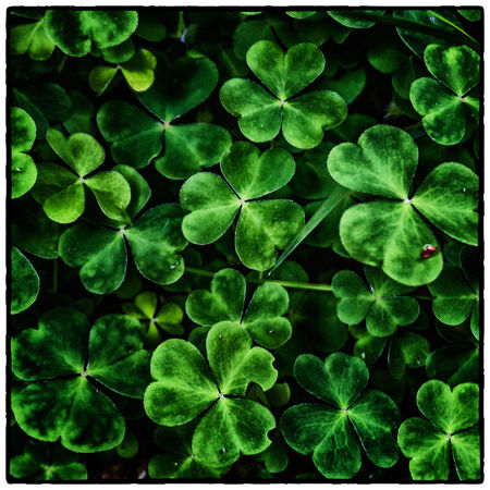 Backgrounds Beauty In Nature Close-up Clover Cruagh Woods Day Dublin Dublin Mountains Full Frame Green Green Color Growth Ireland Irelandinspires Ireland🍀 Leaf Leaf Vein Leaves Lush Foliage Natural Pattern Nature No People Outdoors Plant Tranquility