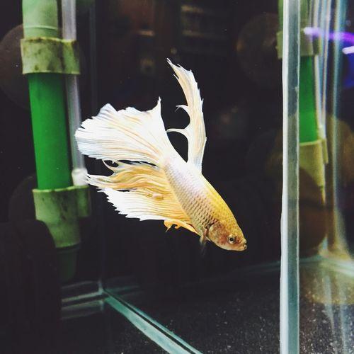 Taichung Taichung, Taiwan Taichung City Bettafish Betta Fish Betta  Fishtail  Golden Fluffy Fishlover