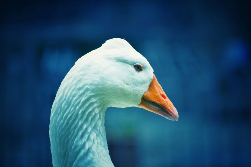 EyeEm Nature Lover Eye4photography  EyeEm Gallery EyeEm EyeEmBestPics EyeEm Best Shots - Nature EyeEm Best Shots Eye Em Nature Lover Beauty In Nature Animal Themes Birds Of EyeEm  Birds_collection Goose Blue Eyes Beak Blue Close-up Animal Body Part Animal Eye