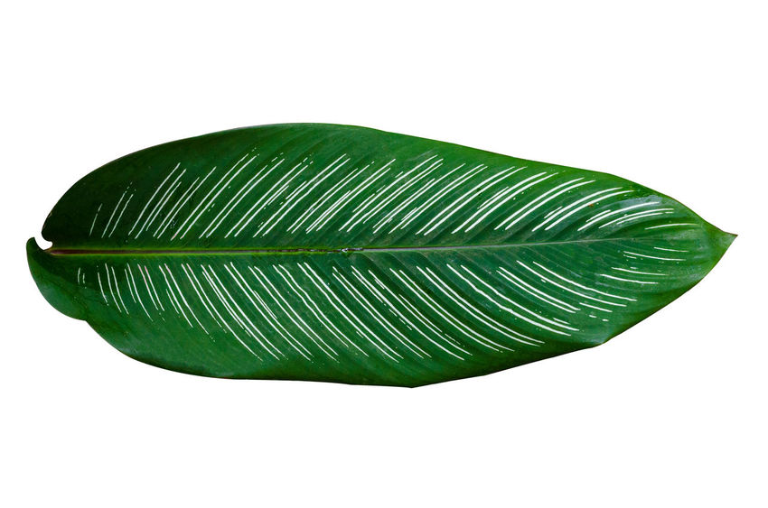 Calathea Medallion Calathea Crocata Beauty In Nature Calathea Close-up Copy Space Cut Out Feather  Fragility Freshness Green Color Indoors  Leaf Nature No People Palm Leaf Pattern Plant Part Shape Single Object Softness Still Life Studio Shot Vulnerability  White Background