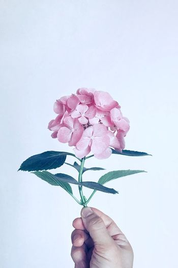 Cropped hand of person holding flowers against white background