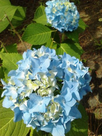 The Beauty In My Gardens Tangled Up In Blue Saturday Sun