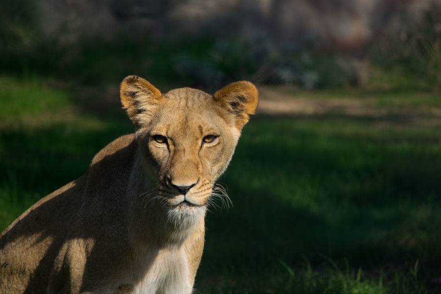 Lionness Lion Animal Themes Animal Wildlife Animals In The Wild Focused Gaze Lionness Looking At Camera Nature Stalk First Eyeem Photo