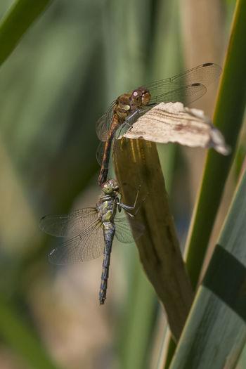 Beauty In Nature Close-up Dragonfly Insect Libellen Libellenhochzeit Macro Makro Niveau à Bulle