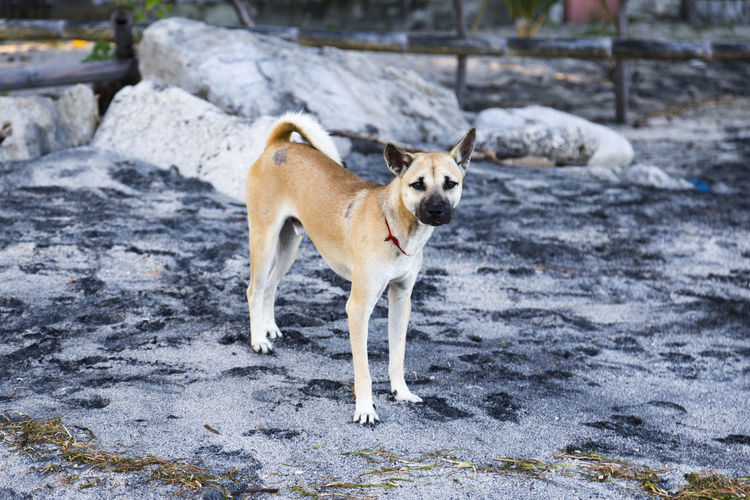 A local beach dog in Paga on the island of East Nusa Tenggara, Indonesia. Holiday INDONESIA Nature Rural Tourist Travel Attraction Beach Boat Deserted Destination East Nusa Tenggara Fishing Flores Landscape Ocean Paga Sea Sikka Regency Swim Tourism Tropical Vacation Village White Sand