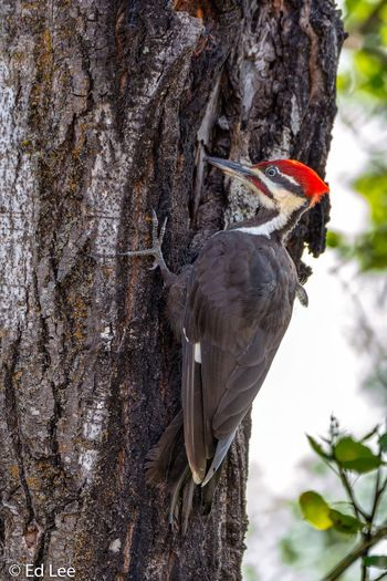 Pileated Woodpecker Bird Photography Birds_collection Wildlife Pileated Woodpecker Minnesota Nature_collection Streamzoofamily Malephotographerofthemonth Plant Focus On Foreground Day Animal Animal Themes Nature Animal Wildlife Animals In The Wild Tree Trunk Close-up