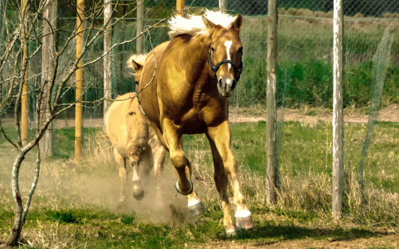 Animal Themes Country Country Life Day Fence Grass Horse Horse Running Horses Nature Pasture Photography ın Motion Running Young Animal 43 Golden Moments