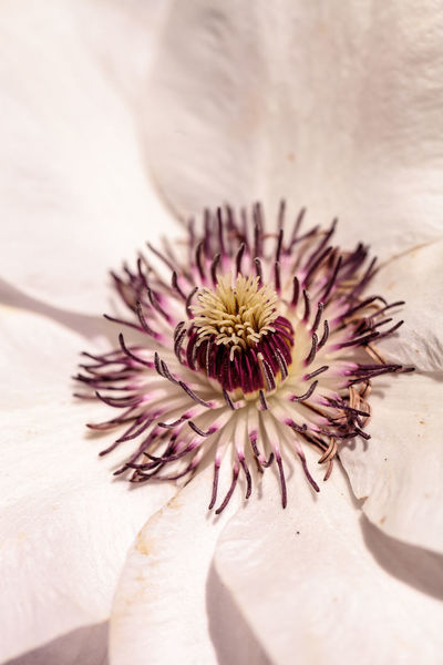 White fragrant star clematis flower with a purple center blooms on a vine in spring Beauty In Nature Clamatis Close-up Day Flower Flower Head Fragility Fragrant Freshness Garden Macro Nature Nature Outdoors Petal Purple Spring Star Clematis Vine White