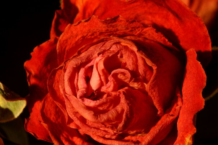 The rose I photographed a few days ago is now faded Beauty In Nature Botany Close-up Day EyeEm Nature Lover Faded Flower Flower Head Fragility Freshness Full Frame Growth Nature No People Old Rose Petal Plant Red Rose - Flower Rose Petals Rose🌹 Studio Shot Withered  Withered Flower