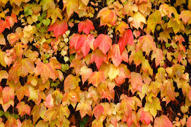 Autumn in London Plant Part Leaf Autumn Plant Change Nature Beauty In Nature No People Full Frame Fragility Vulnerability  Yellow Close-up Backgrounds Abundance Growth High Angle View Leaves Day Orange Color Outdoors Maple Leaf Natural Condition Fall London Autumn Mood