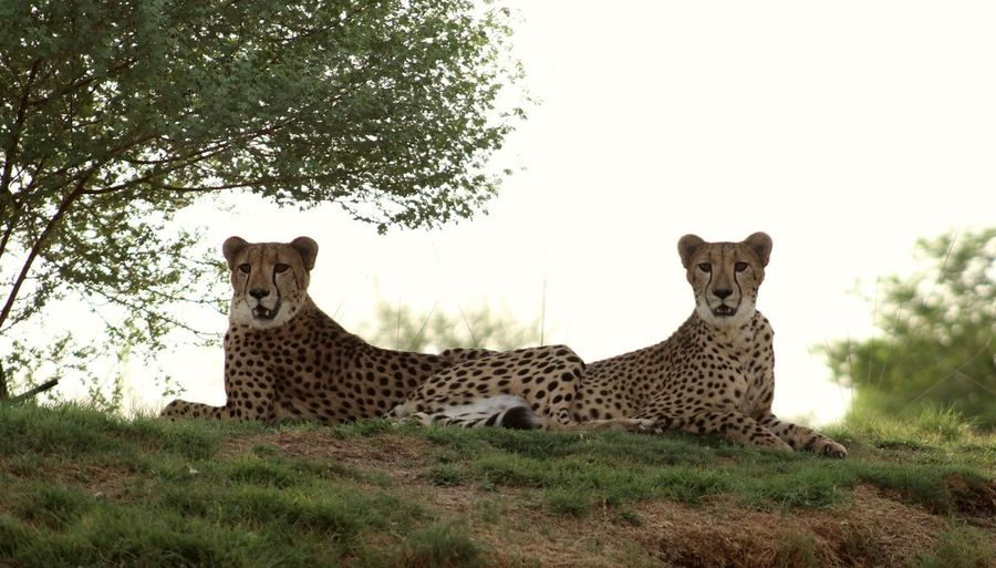 Canon1300d Leopard Wild Alain Zoo Leopard Safari Animals Feline Spotted Portrait Grass
