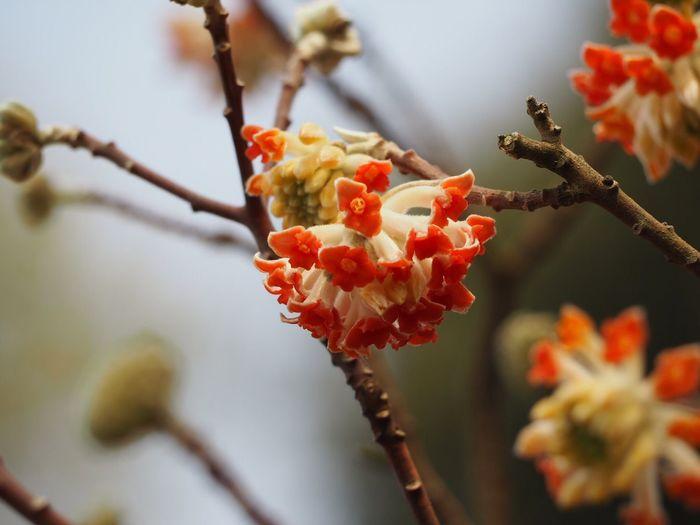 ベニハナミツマタ ミツマタ EyeEm Nature Lover EyeEm Flower 花 Flower Spring Flowers