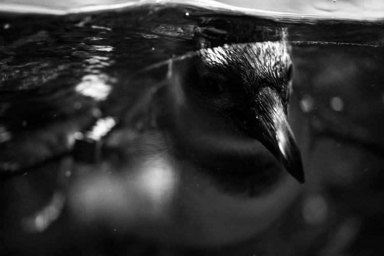One Animal Animal Close-up Water Animal Themes Animal Body Part Swimming Vertebrate Animal Wildlife Animals In The Wild Animal Head  Underwater No People Selective Focus Indoors  Sea Marine Penguin