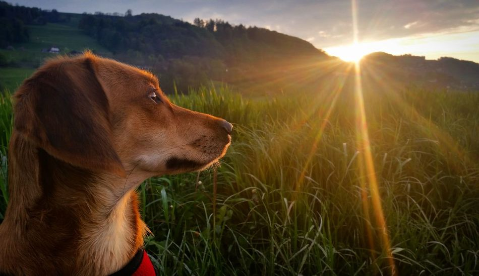 Pet Portraits Dog Sunset Nature Sun One Animal Outdoors Summer Sunlight Day Grass Beauty No People Field Mountain Pets Domestic Animals Agriculture Social Issues Mammal Rural Scene Belp Dog❤ Dog Love Dogs Of EyeEm