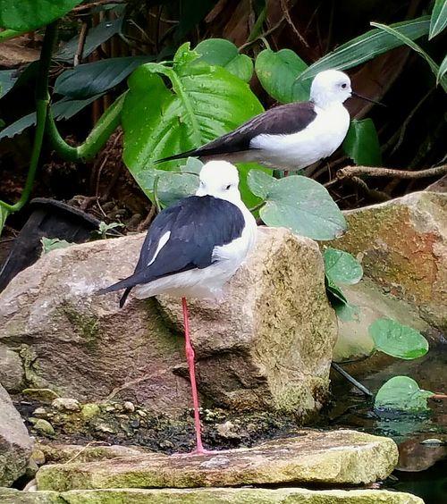 Slimbridge EyeEm Birds Tropical Birds EyeEm Nature Lover Through My Eyes Birds Of EyeEm  White And Black Bird Featheredbeauties