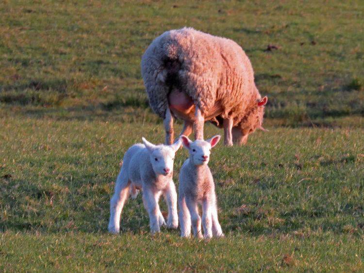 Animal Themes Animals Calderdale Cattle Cute Day Family Farm Farmland Field Grass Green Lamb Landscape Light And Shadow Mammal Nature No People Non-urban Scene Outdoors Rural Scene Sheep Spring Springtime Yorkshire