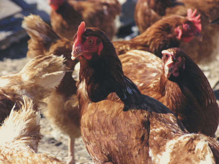 Close-up of hens