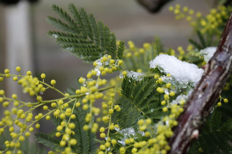 Mimosa and snow Mimosa Mimosa Flowers Mimosa Tree Snow Covered Snow Covered Branch Flowers Of EyeEm Beautiful Nature Taking Photos 3XPUnity Nature Snow Covered Snow Tree Flower Close-up Plant Sky Green Color Plant Life Flowering Plant In Bloom Flower Head Blooming