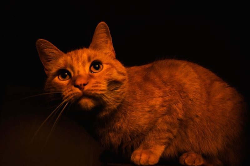 Cat Animal Themes Domestic Feline Animal Pets Domestic Cat Domestic Animals Mammal One Animal Vertebrate Whisker Black Background Studio Shot Indoors  No People Portrait Close-up Looking Looking At Camera