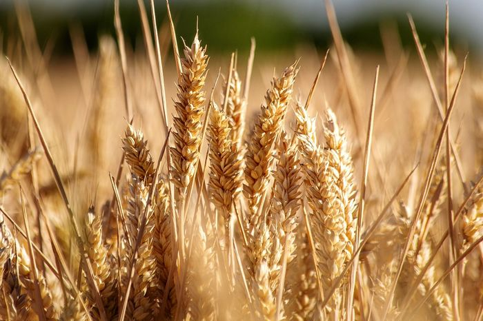 Sunny Field Growth Plant Field Land Cereal Plant Crop  Nature Agriculture Wheat Close-up Focus On Foreground Beauty In Nature No People Sunlight Day Landscape Rural Scene Tranquility Outdoors Farm