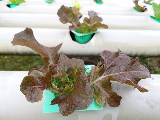 Hydroponic Red Oak For Sale Garden Market Agriculture Red Oak Leaves Plant No People Indoors  Flower Day Nature Close-up Leaf Growth Freshness Fragility Beauty In Nature