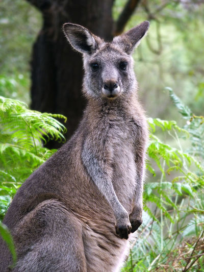 Grey Kangaroo Animal Animals Animals In The Wild Australia Cute Grey Kangaroo Kangaroo Marsupial Nature Travel Wildlife