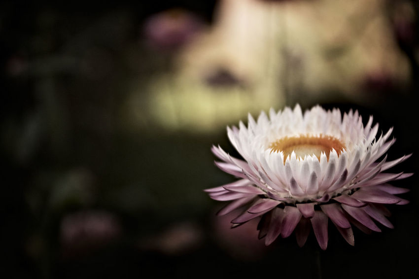 Beauty In Nature Blossom Close-up Fall Flower Flower Head Fragility In Bloom Petal Single Flower