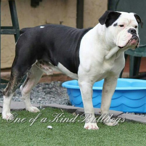 One of a Kind's The Legendary Hercules. Hercules is a young Stud already close to 75lbs. Can't wait to see him fully grown. He is having some fun here for boarding :-) Oneofakindbulldogs Bulldogs Oldeenglishbulldogges oeb premierbreeder bulldogbreeder victorianbulldogs bullyinstagram bullyinstafeature SoCal californiadreamin SanDiego SD lovemylife dogoftheday beastmode