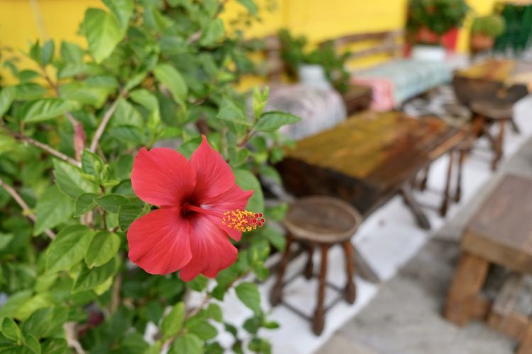 Close-up of red flower on table
