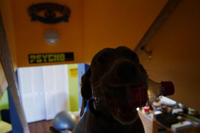 Psycho Close-up Crazy Dogs Headshot Indoors  Psycho Weimaraner Weimaranerlove Weimaraners Of Eyeem