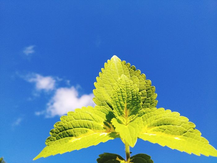 Close-up of fresh green leaves against blue sky