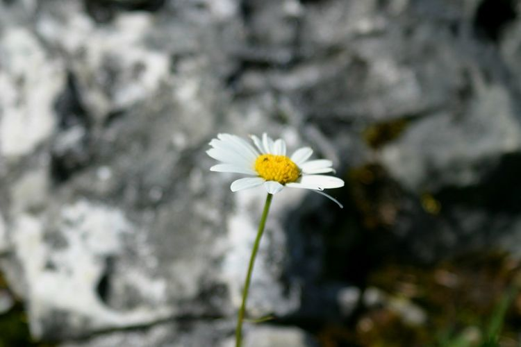 Single Flower Nature Morning Mountains Germany White Color Photography