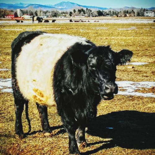 Mountains Cattle pasture Animal Talk Colorado Times sunny day Winter Day countryside Dutch Belted Dairy cow Landscapes With WhiteWall Livestock Motus Natura