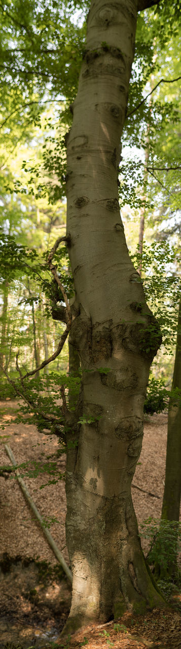 tree, tree trunk, nature, growth, day, outdoors, forest, no people, branch, beauty in nature