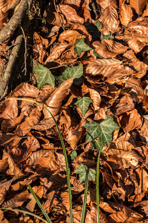 Abundance Autumn Backgrounds Change Close-up Day Dry Fallen Fragility Full Frame Ivy Leaf Leaves Maple Maple Leaf Nature No People Outdoors Poison Ivy
