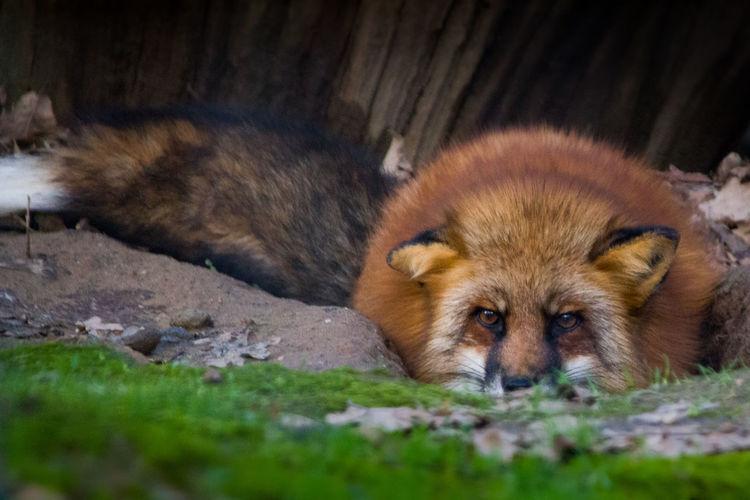 Fox🐺 Fox Fuchs