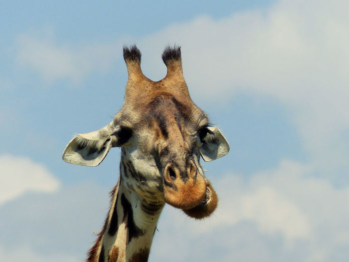 Low angle portrait of giraffe against sky