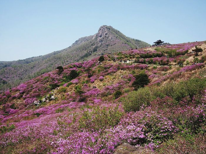 Flower Purple Landscape Beauty In Nature Nature Day Outdoors Travel Destinations Clear Sky Tree Springtime Mauntain Scenics 황매산
