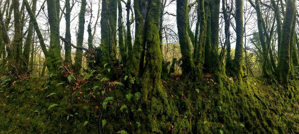 Deep Under Moss Moss Moss Blanket Deep Green Green Lush Foliage Lush Green Lush Greenery Lush Woods Winter Trees Winter Woods Showcase : January The Places ı've Been Today The Places I've Been Today Rows Of Things Barrier Woods Woodlands Greenery Greenery_scenery