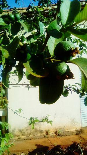 o pe de goiaba Cultivo Criador árvores Bela Natureza Arte Goiaba Tree Leaf Water Vegetable Close-up Plant Green Color