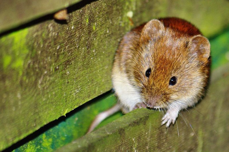 Close-up of bank vole on mossy fence