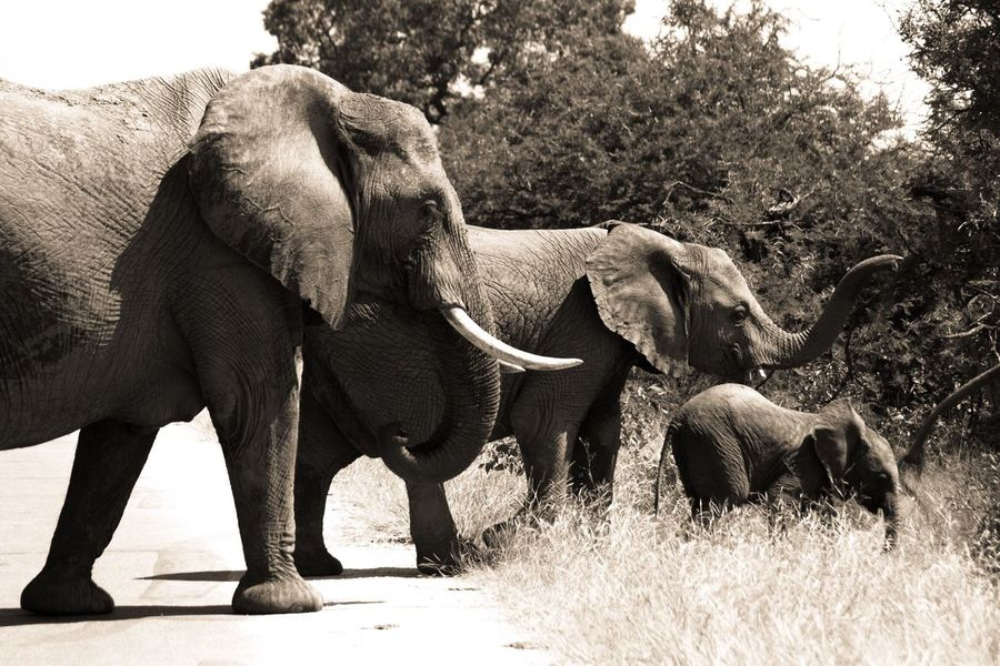 EyeEmNewHere EyeEm Best Shots EyeEm Nature Lover EyeEm Gallery EyeEm Best Edits EyeEmBestPics EyeEm Best Shots - Nature Eyeemphotography Elephant Animal Themes Nature Animals In The Wild African Elephant