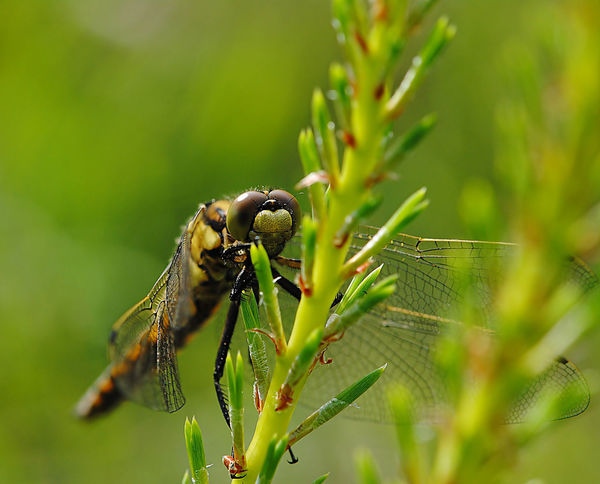 Dragonfly of Latvia Animal Themes Animals In The Wild Beauty In Nature Botanical Close-up Dragonflies Dragonfly Europe EyeEmNewHere Gold Wings Insect Latvia Macro Art Macro Dragonfly Macro Nature Macro Nature Collection Meadows And Fields Nature Plant World