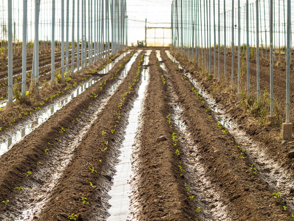 Agricultural Land Agriculture Crop  Cropped Cultivation Day Field Green House Greenhouse Grooves Growing Growth In A Row Indoors  Industrial Industry Irrigation Nature No People Orchard Outdoors Plantation Plants Sprouts
