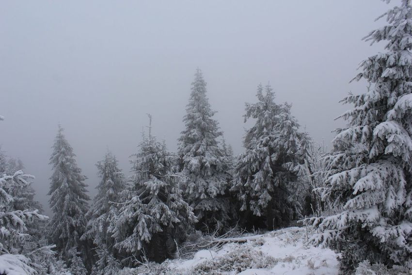 Tree Snow Winter Forest Cold Temperature Nature Pine Tree Pine Woodland Beauty In Nature Snowing Fog Landscape Scenics Outdoors Coniferous Tree Snowflake Sky No People Mountain Day EyeEmNewHere