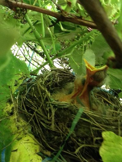baby Robins in my back yard grape vine Bird Through The Grapevine IPhoneography Nature EyeEm Nature Lover Green Green Color Close Up Animal Baby Bird Robin Birth New Life Growth Outdoors Wildlife