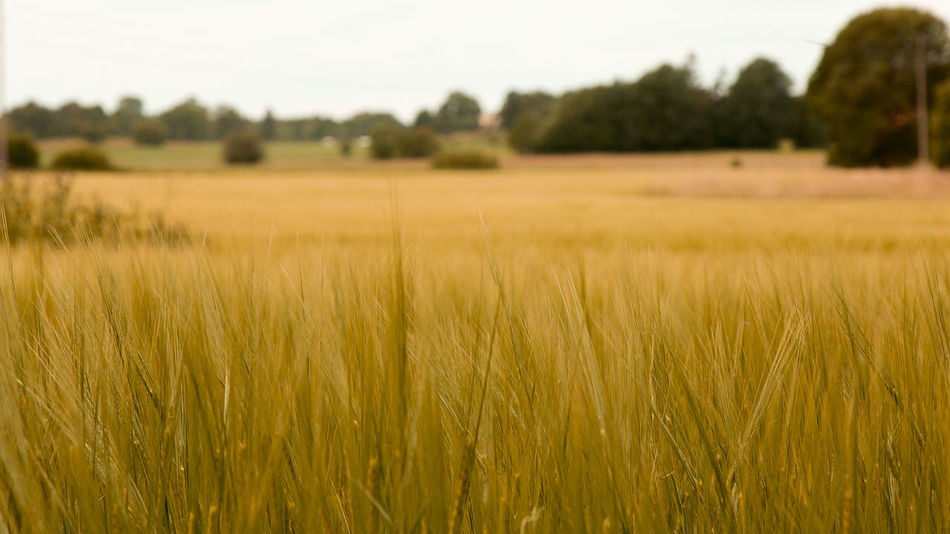 Fields of grain that grows and matures -- Agriculture Bale  Beauty In Nature Cereal Plant Crop  Cultivated Land Day Farmland Field Focus On Foreground Grass Growth Hay Horizon Over Land Landscape Nature No People Outdoors Plant Rural Scene Scenics Sky Tranquil Scene Tranquility Wheat
