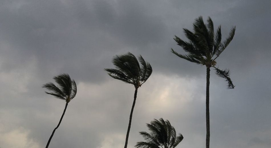 Blowing Tree Tops Cloud - Sky Low Angle View No People Palm Tree Silhouette Sky Thunderstorm Tree Trees Tops Sway Treetop Wind In Palm