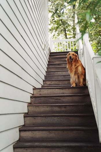golden retriever on rider Dog Golden Retriever Animal Themes EyeEm Nature Lover EyeEm Selects EyeEm Best Shots Pets Feline Domestic Cat Steps Steps And Staircases Dog Sitting Sky Stairs Residential Structure Lion - Feline Stairway